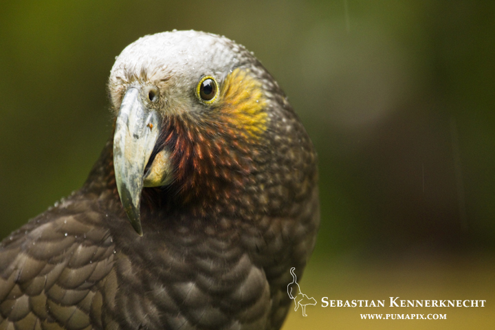 New Zealand Kaka (Nestor meridionalis) parrot during rain storm, North Island, New Zealand