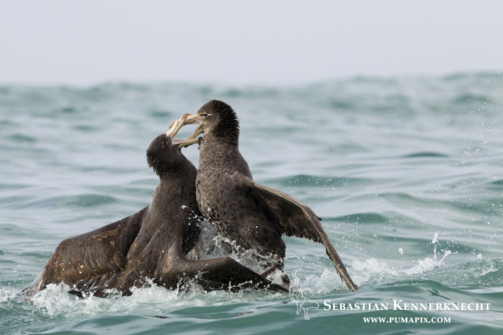 Northern Giant Petrel (Macronectes halli) pair fighting, Kaikoura, South Island, New Zealand