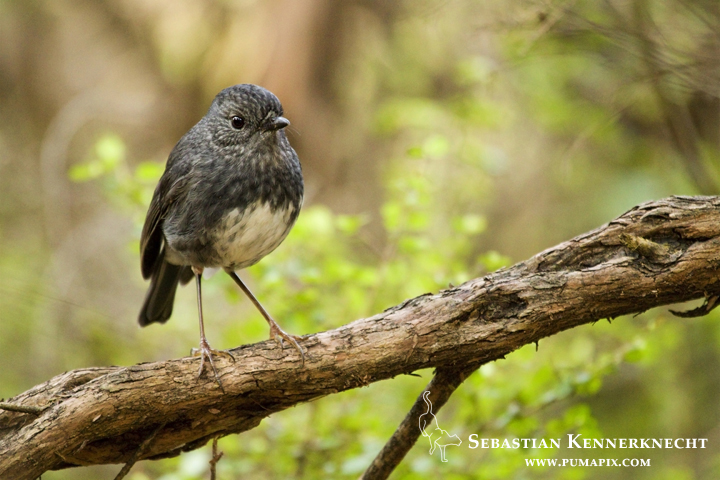 New Zealand Robin (Petroica australis longipes) female, Kapiti Island, North Island, New Zealand