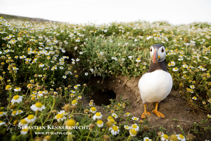 IMG_116908_Atlantic_Puffin_United_Kingdom_Sebastian_Kennerknecht