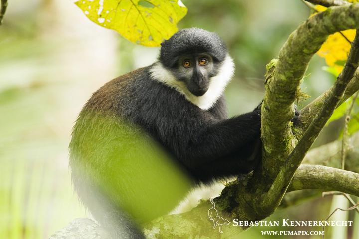 L'hoest's Guenon (Cercopithecus lhoesti) in tree, Bigodi Wetland Sanctuary, Magombe Swamp, western Uganda