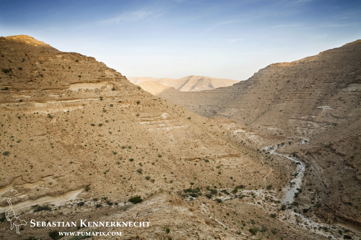 Caracals are found in this habitat, but probably not as high of densities - dried valleys (wadis), Hawf Protected Area, Yemen
