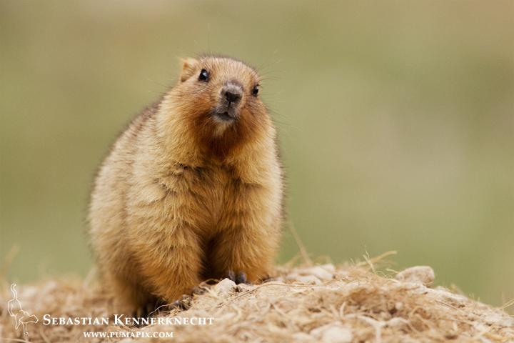Gray Marmot (Marmota baibacina) kit, Pikertyk, Tien Shan Mountains, eastern Kyrgyzstan