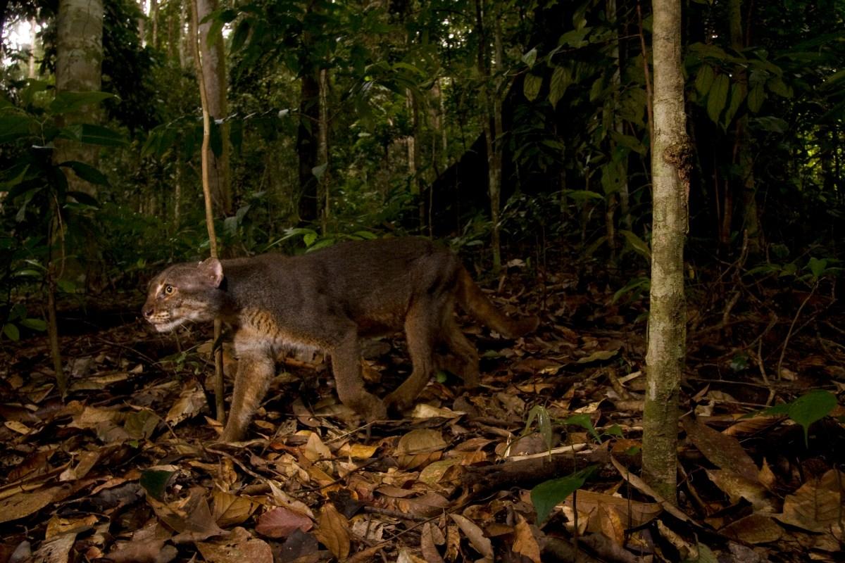 Bay Cat (Pardofelis badia) gray morph male in lowland rainforest, Tawau Hills Park, Sabah, Borneo, Malaysia