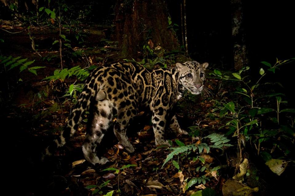 Bornean Clouded Leopard (Neofelis diardi borneensis) male in lowland rainforest at night, Tawau Hills Park, Sabah, Borneo, Malaysia