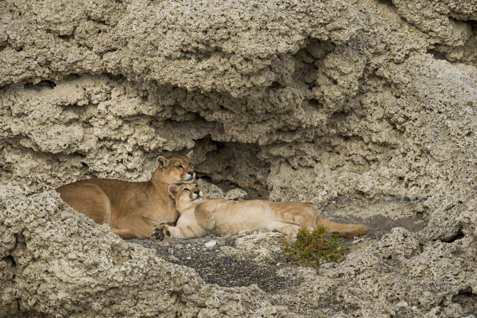 Mountain Lion (Puma concolor) mother and six month old cub nuzzling, Torres del Paine National Park, Patagonia, Chile