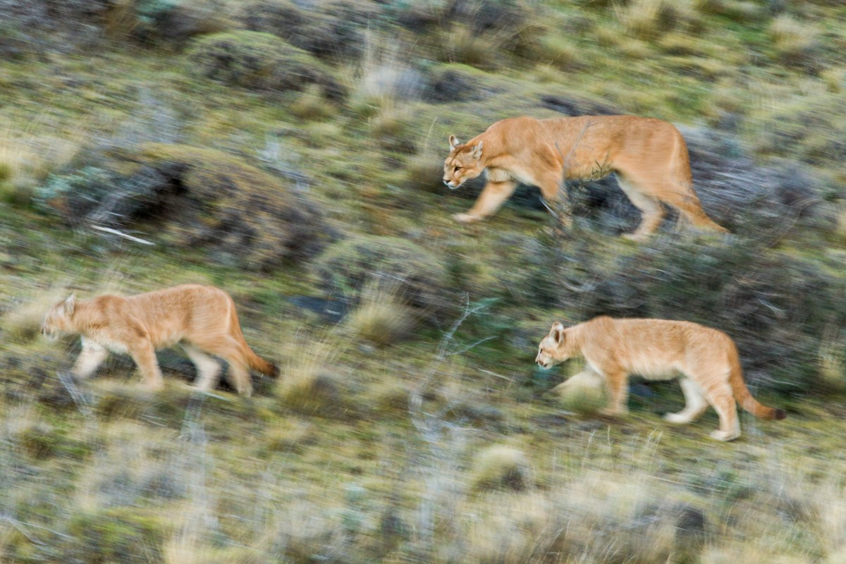Mountain Lion (Puma concolor) mother and six month old cubs walking through pre-andean shrubland, Torres del Paine National Park, Patagonia, Chile