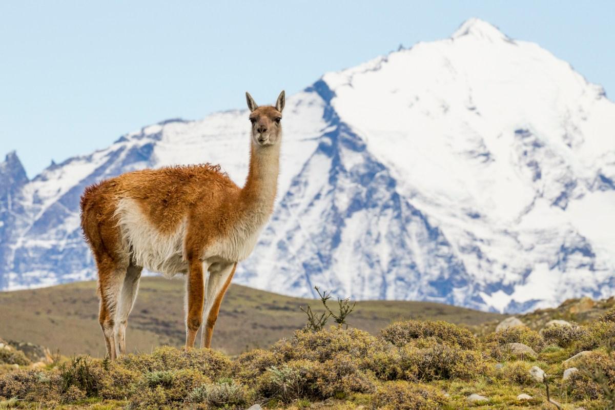 Guanaco (Lama guanicoe), Torres del Paine National Park, Patagonia, Chile