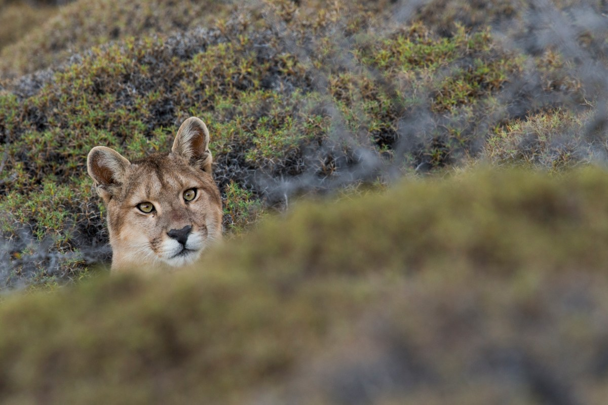 Mountain Lion (Puma concolor) sixteen month old cub, Torres del Paine National Park, Patagonia, Chile