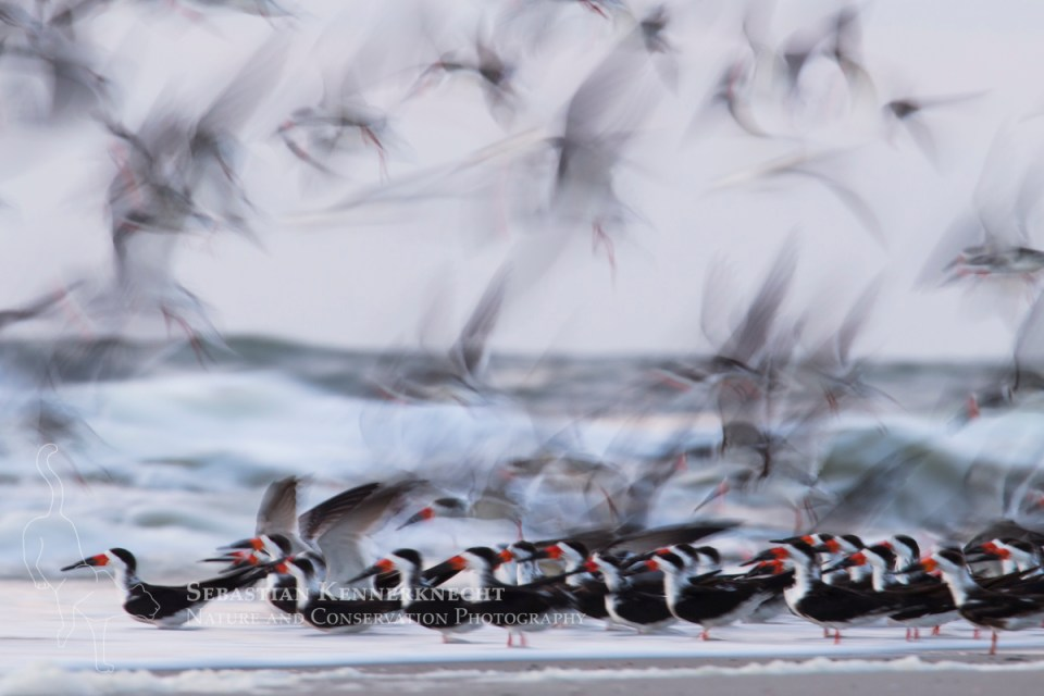 Black Skimmer (Rynchops niger) flock taking flight, Amelia Island, Florida