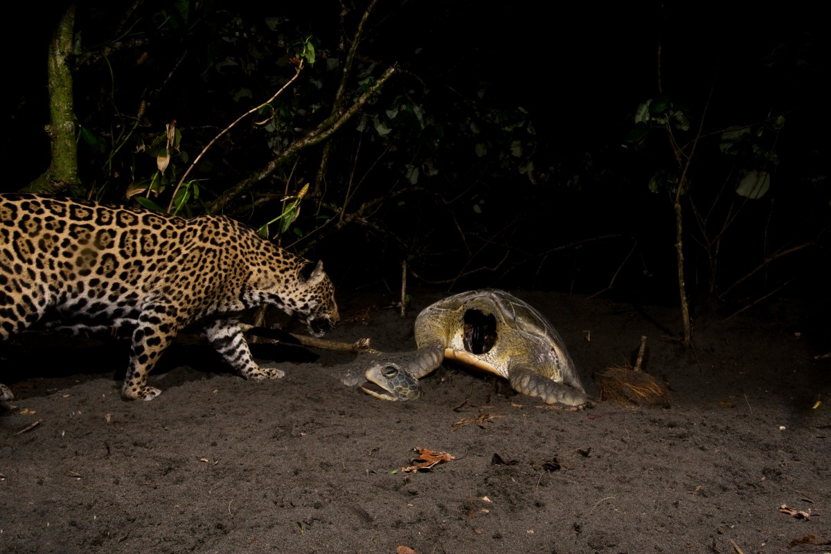 Jaguar (Panthera onca) female approaching predated Green Sea Turtle (Chelonia mydas) at night, Coastal Jaguar Conservation Project, Tortuguero National Park, Costa Rica