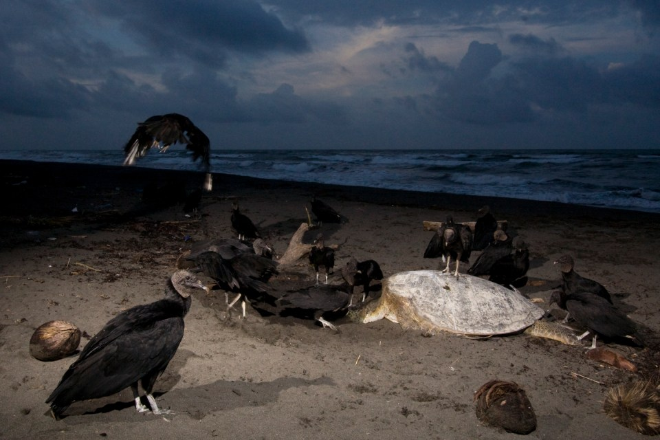 American Black Vulture (Coragyps atratus) group feeding on Green Sea Turtle (Chelonia mydas) carcass, Tortuguero National Park, Costa Rica