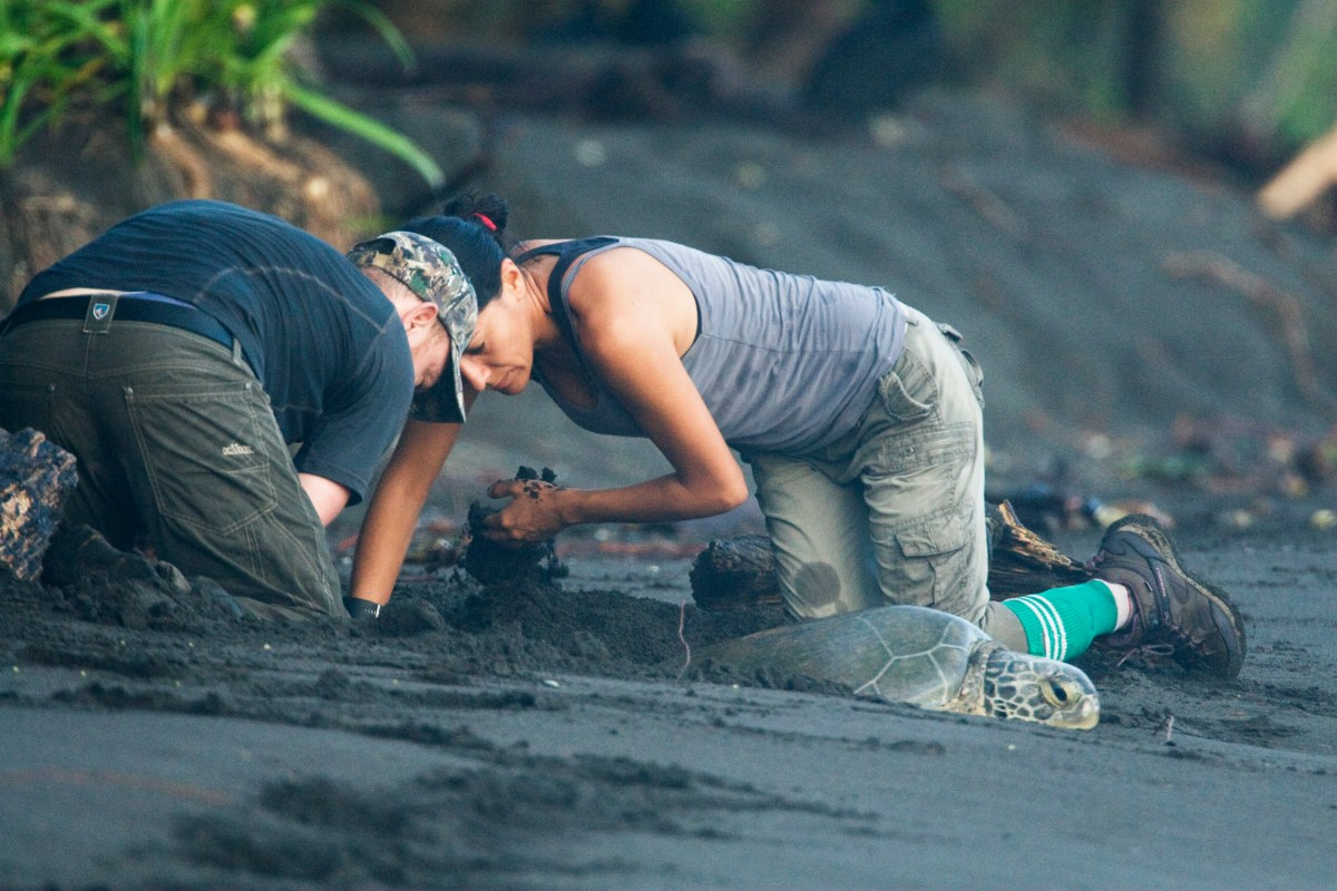 Jaguar (Panthera onca) biologists, Stephanny Arroyo-Arce and Ian Thomson, digging out female Green Sea Turtle (Chelonia mydas) that is stuck in the sand, Coastal Jaguar Conservation Project, Tortuguero National Park, Costa Rica