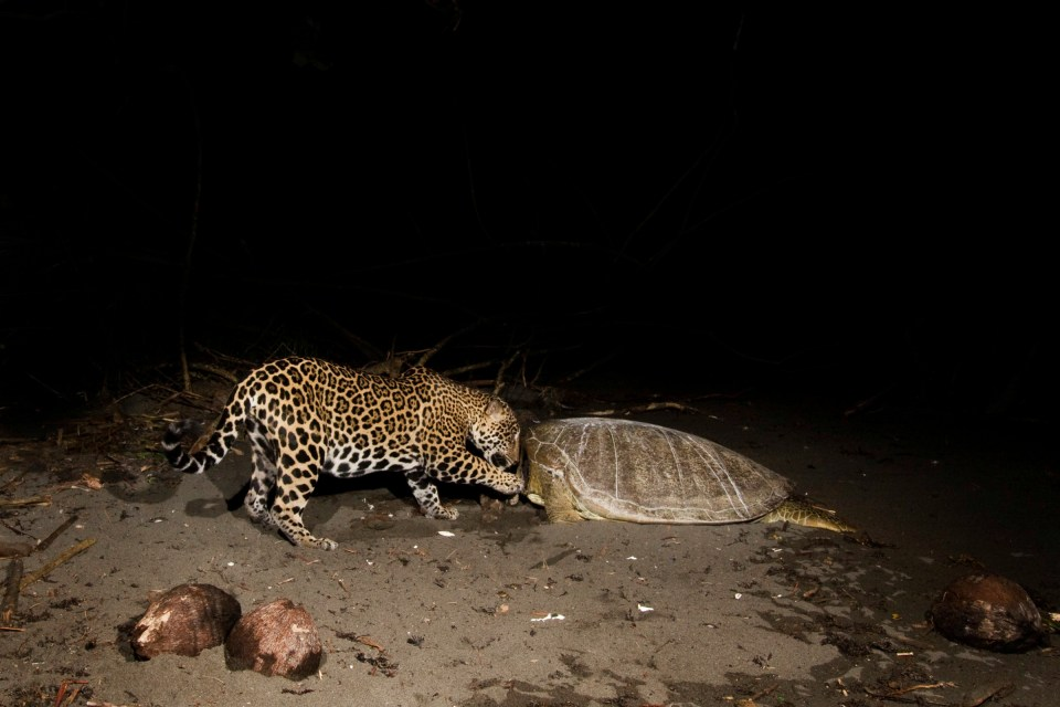 Jaguar (Panthera onca) female feeding on Green Sea Turtle (Chelonia mydas) carcass at night, Coastal Jaguar Conservation Project, Tortuguero National Park, Costa Rica