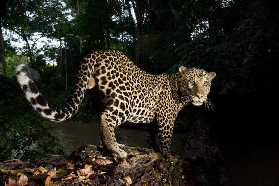 African Leopard (Panthera pardus) male crossing log bridge over river in tropical rainforest, Lope National Park, Gabon