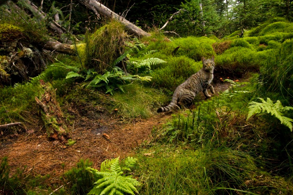 Scottish Wildcat (Felis silvestris grampia) and Domestic Cat (Felis catus) hybrid male in coniferous forest, Glen Isla, Scotland, United Kingdom