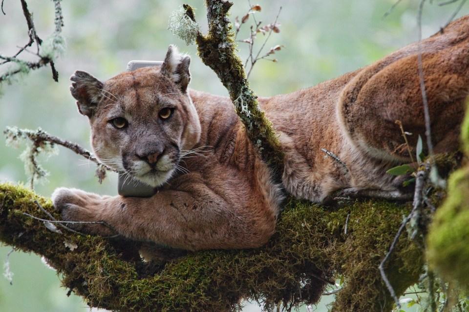 Mountain Lion (Puma concolor) male in tree during attempt to re-collar him, Santa Cruz Puma Project, Uvas Canyon County Park, Santa Cruz Mountains, California