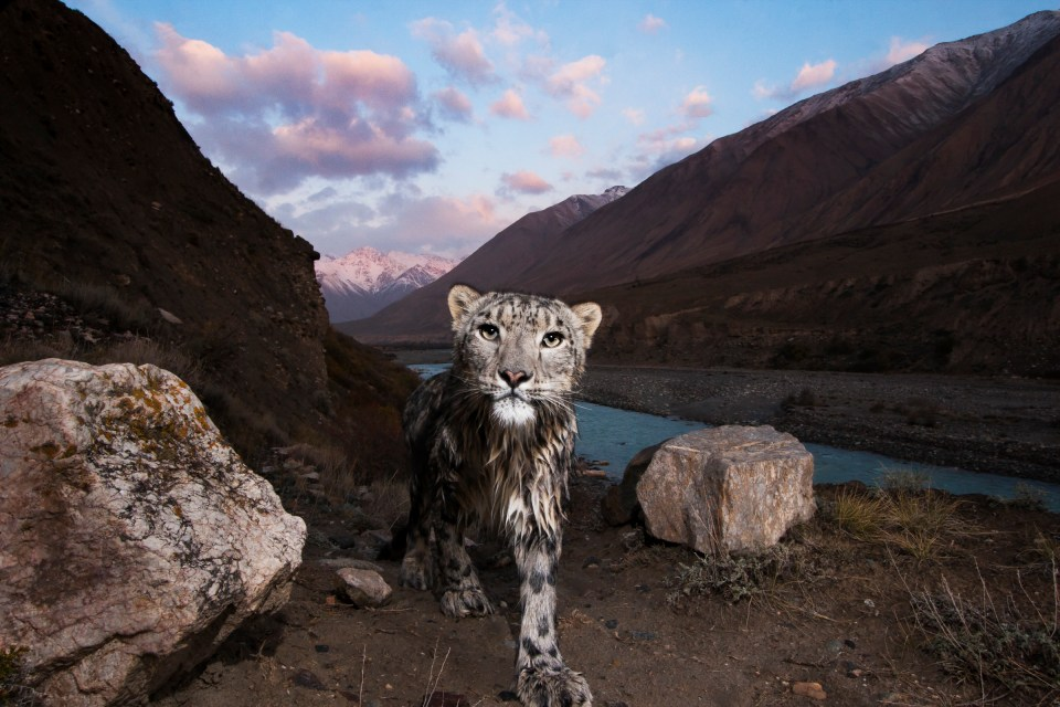 Snow Leopard (Panthera uncia) female, wet after having crossed river, in mountain valley, Uchkul River, Sarychat-Ertash Strict Nature Reserve, Tien Shan Mountains, eastern Kyrgyzstan