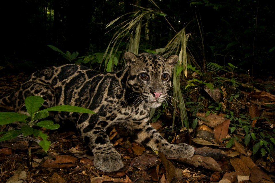 Bornean Clouded Leopard (Neofelis diardi borneensis) male with corneal ulcer in his right eye in lowland rainforest, Tawau Hills Park, Sabah, Borneo, Malaysia
