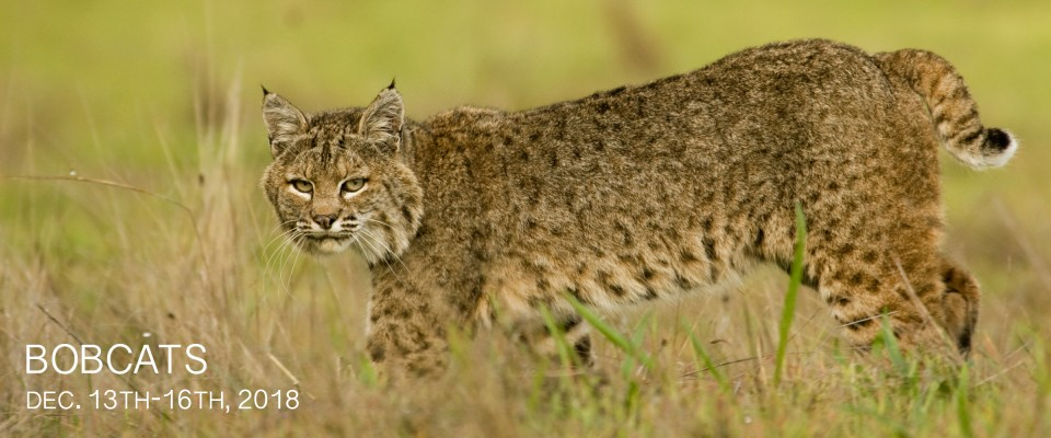 Bobcat Photography Tour