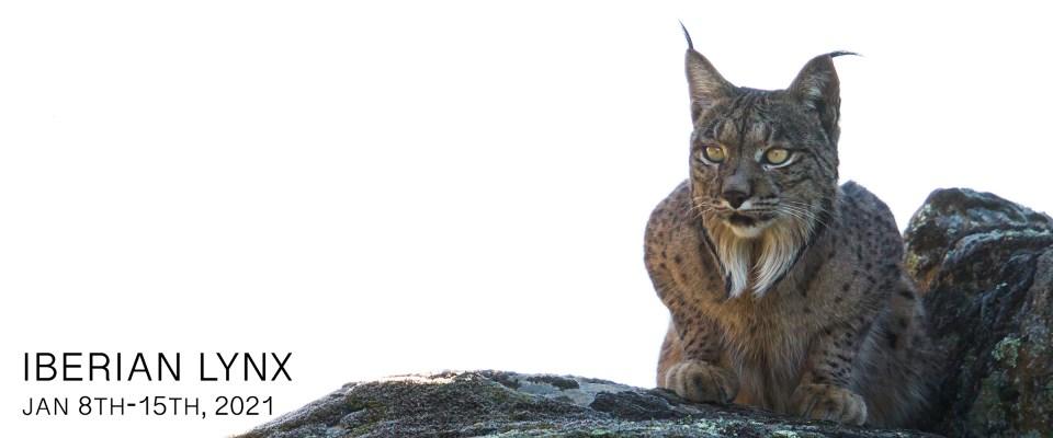 Iberian Lynx Photo Tour 2021