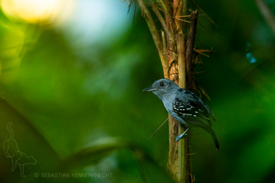 Black-crowned Antshrike (Thamnophilus atrinucha) male, Mamoni Valley, Panama