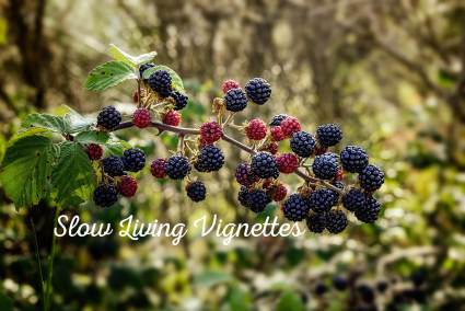 The blackberries are ripening at PumpjackPiddlewick