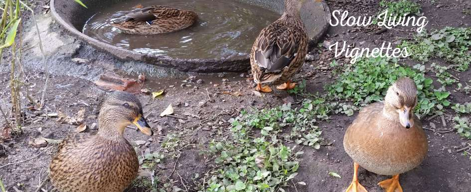 Duck teenagers at PumpjackPiddlewick