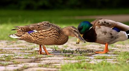 Duck sex season is here at PumpjackPiddlewick