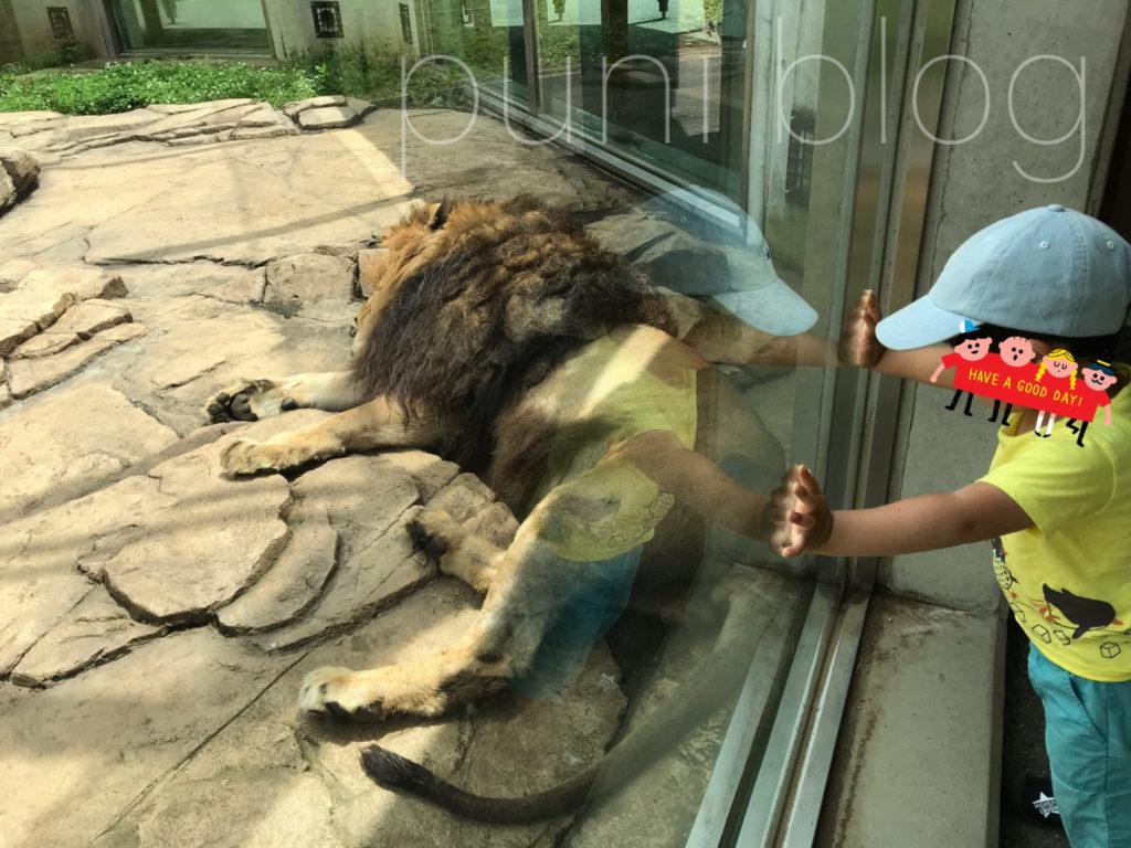 ライオン_千葉市動物公園