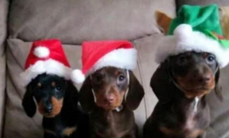 Photo of Le tomó una foto a sus 17 perros con trajes navideños