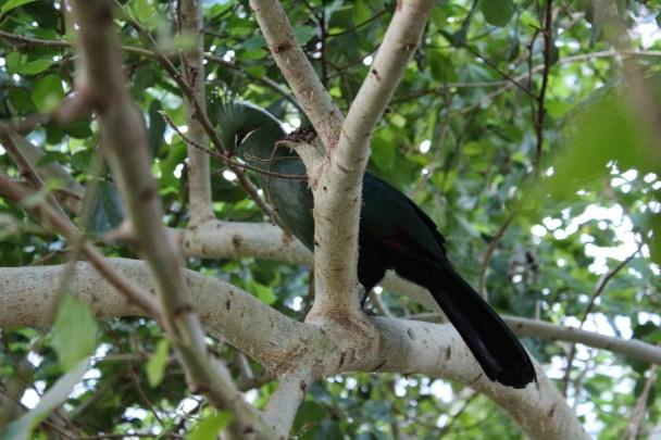 Uccello del Muse