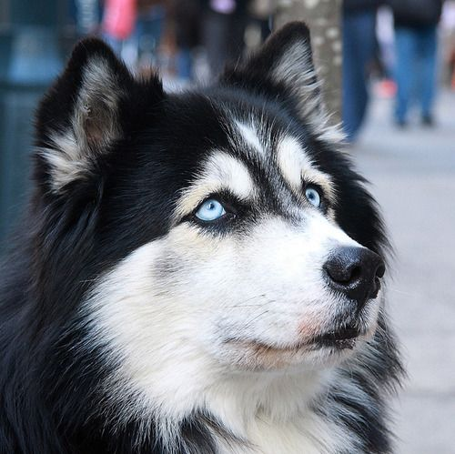 5 Dog Breeds That Have Blue Eyes and The Facts Surrounding