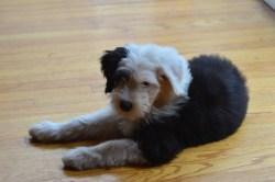 Witching Black English Sheepdog English Sheepdog Dog Breed