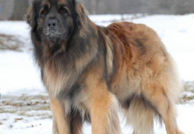 Leonbergers For Sale In Michigan
