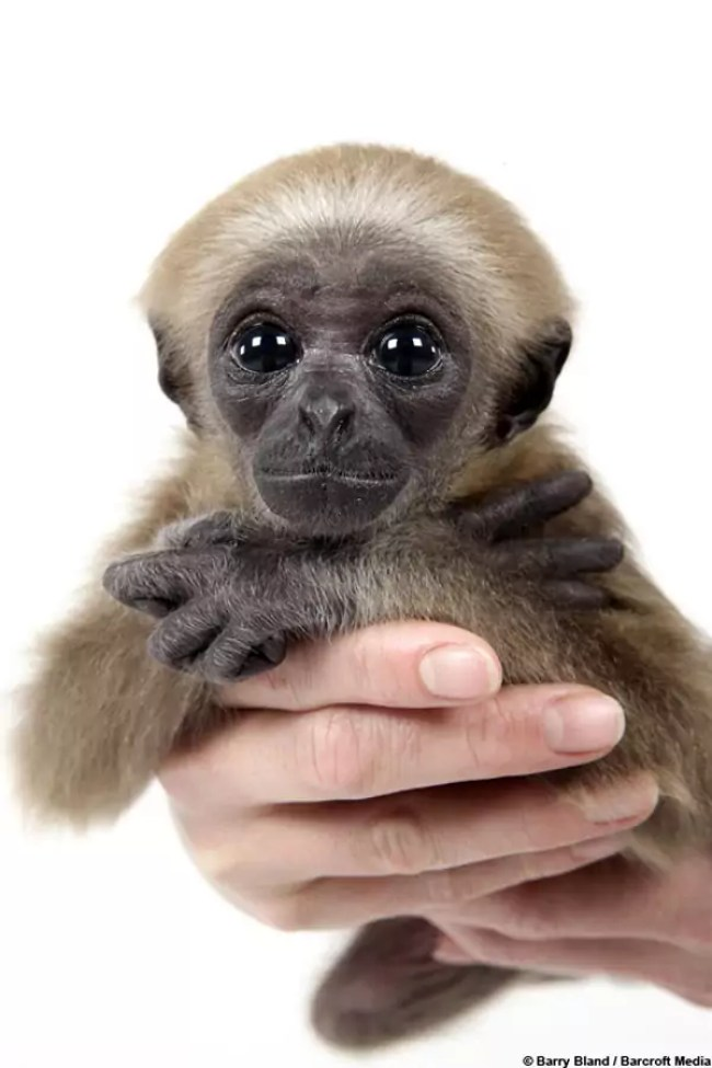 Baby Gibbon 02