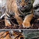 Sumatran tiger cubs born in Dublin Zoo