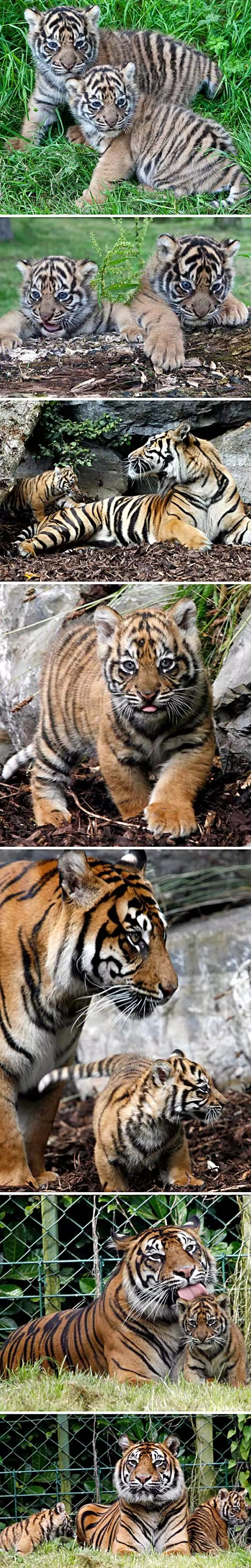 Sumatran tiger cubs born in Dublin Zoo