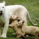 Puppies and Flowers : Litter of white Bengal tigers born in Mexico