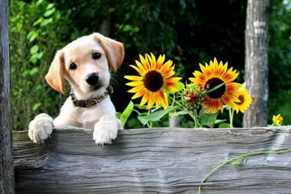 Puppies and Flowers 01
