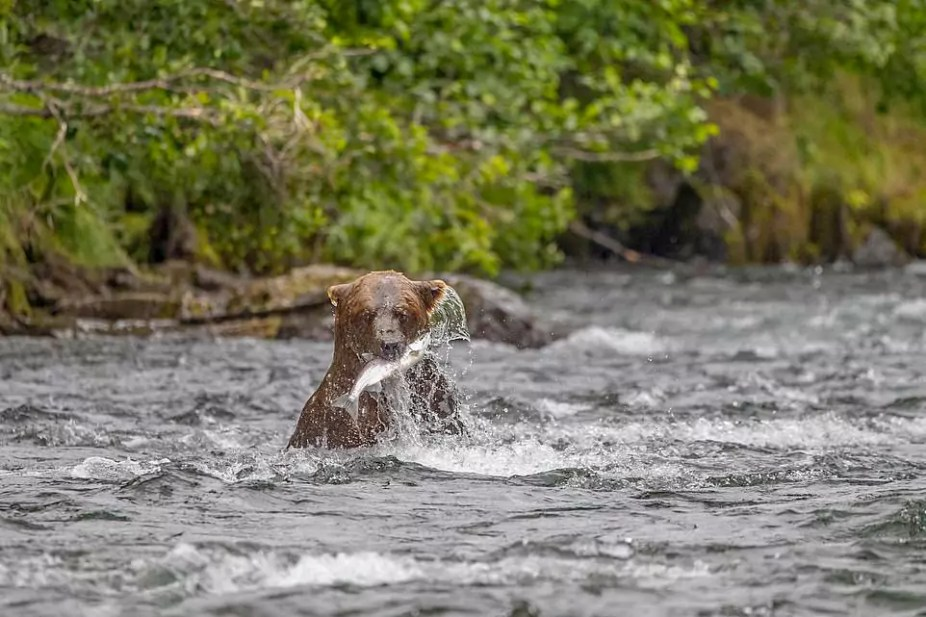 Grizzly Air-Dives After A Salmon