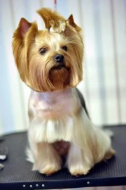 yorkie haircuts - coolest