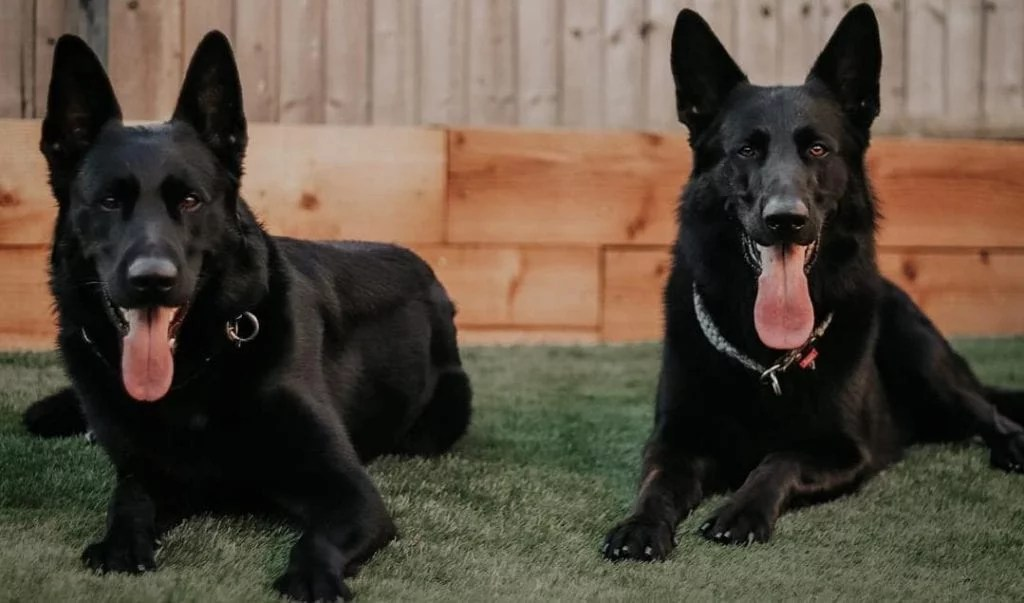 black german shepherd 11