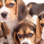 Puppies Dubai Pet Shop Dubai Buy Dogs Puppy Sale