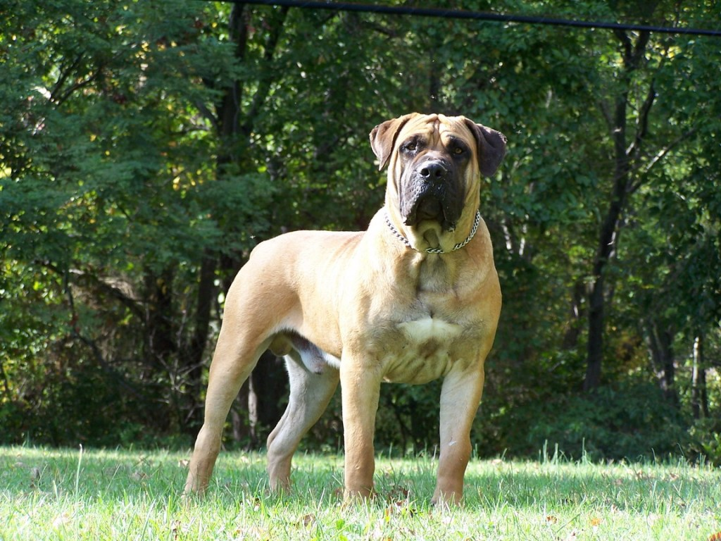 What is in a name: The origin of the name Boerboel