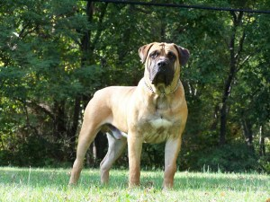 boerboel name origin