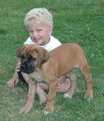 The Personality and Temperament of Boerboel Dogs