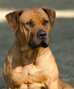 Is The Boerboel Breed For You?