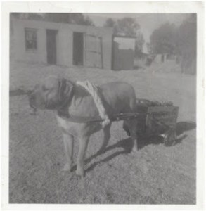 Boerboel History