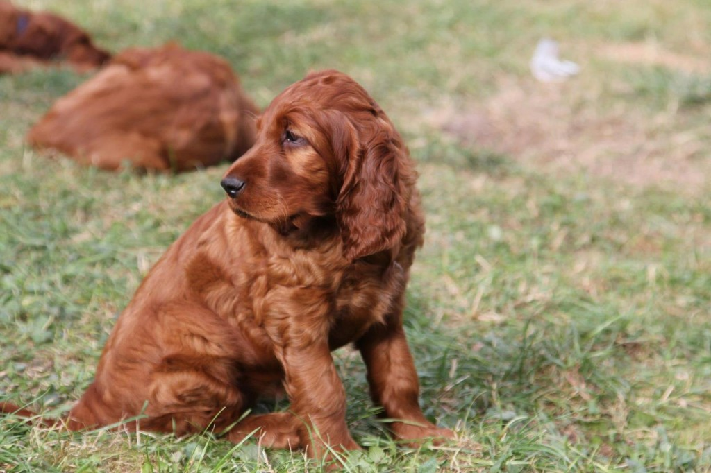 Some tips for Irish Setter Training